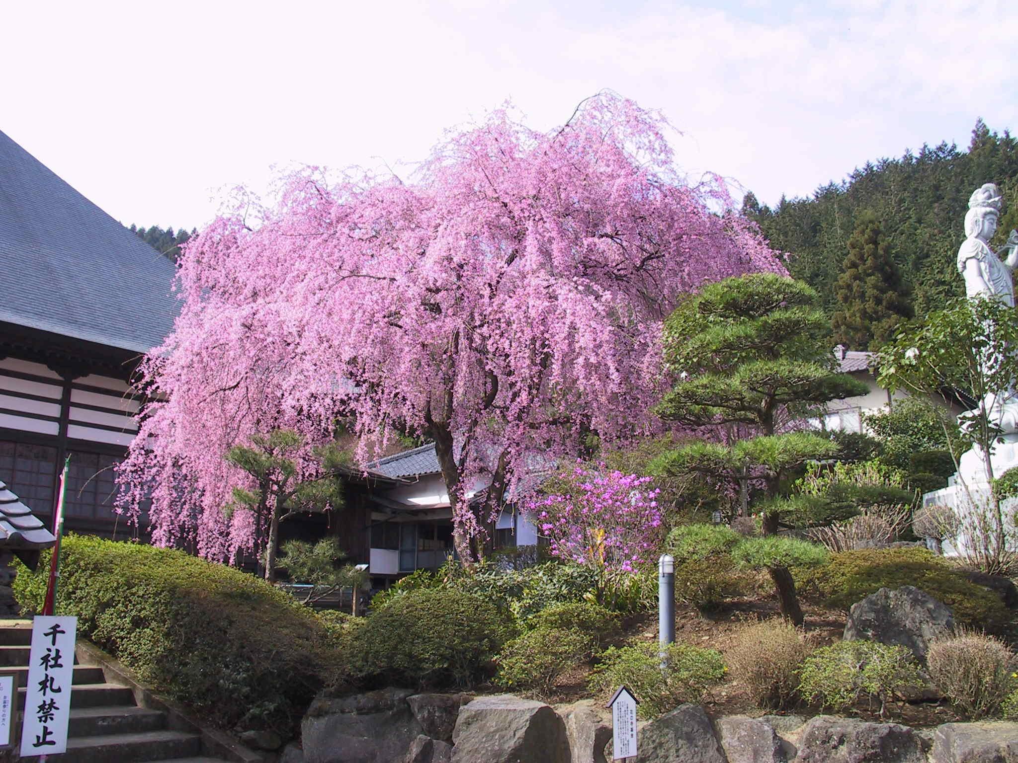 甘楽町   宝積寺の枝垂れ桜(2003...